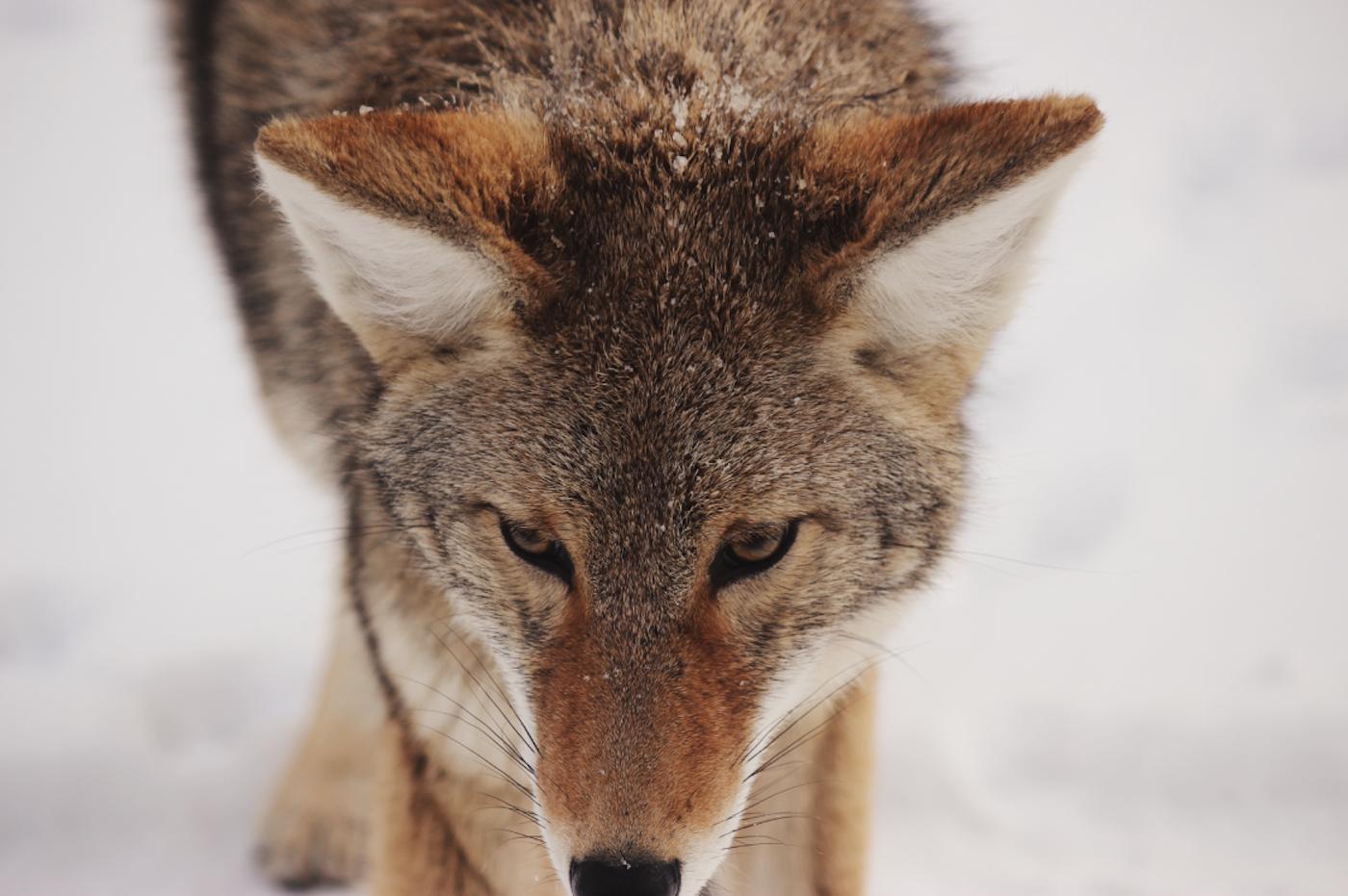 wilcza wyprawa z Wojciechem Eichelbergerem - odkrywanie strategii silnego przywódcy